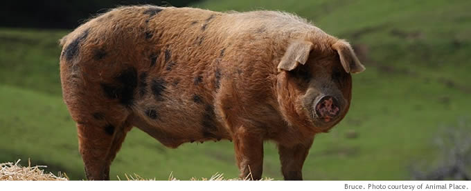 pigs_main